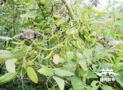 """扬州西区有大片""""国保大豆"""" 它们还打败了""""一枝黄花"""""""