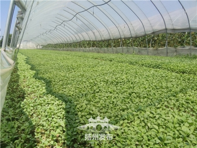 """高溫天蔬菜竟然""""夏眠""""了,揚州市場葉菜""""一天一價"""""""