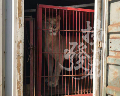 【视频】润扬大桥民警拦下一辆货车检查,竟发现两头狮子……