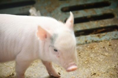 【新时代 新作为 新篇章】扬大历经6年育出扬州史上首款小型猪 全省首个自主培育的小型猪新品系