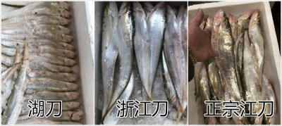 江刀禁捕,为啥饭店还有刀鱼卖?你吃到的可能是……