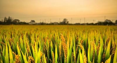 【三农报道】扬州地区水稻穗期病虫发生趋势及防治意见