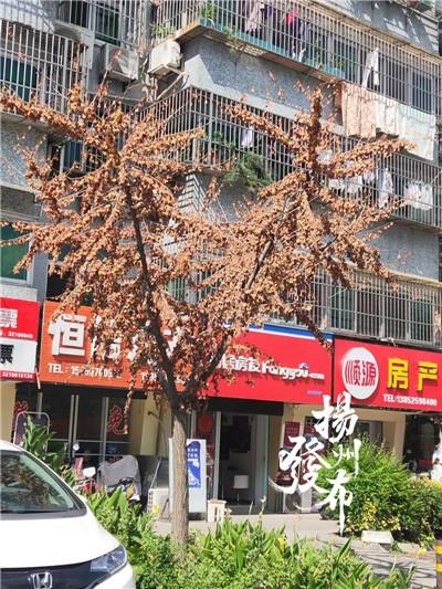 【马上办】刚入秋,这些挂果的银杏树叶为何已枯黄?