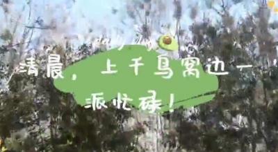 """【诚信彩票网投app视频】壮观!宝应这里筑了上千鸟巢,竟是因一场""""地盘""""之争而起"""