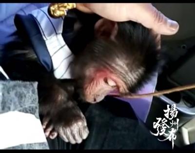 从小养的猴子露出凶相,仪征男子无奈寻求派出所帮忙,来看看咋回事~