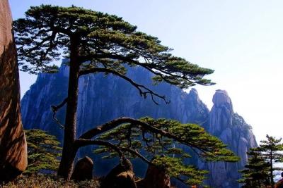 """网传""""迎客松为塑料树、假树""""?黄山景区官方回复......"""