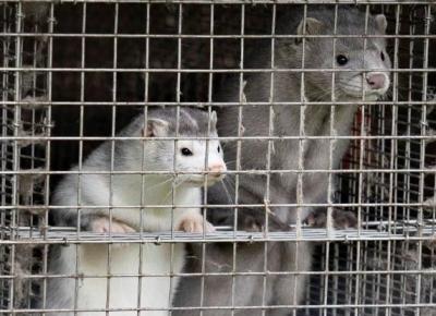 发现水貂传播变异新冠病毒 丹麦宣布捕杀1700万只水貂