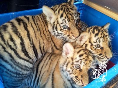 【视频】扬州动物园虎妈妈诞下三胞胎