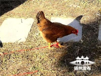 逃离煲汤命运,小区随它溜达,还被主人宠上天,扬州这只母鸡红了!