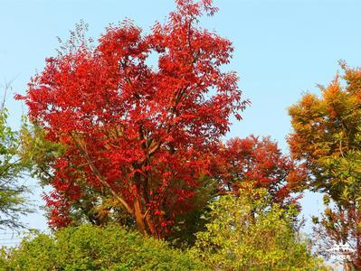 扬州赏秋·视频 | 今年的榉叶真红